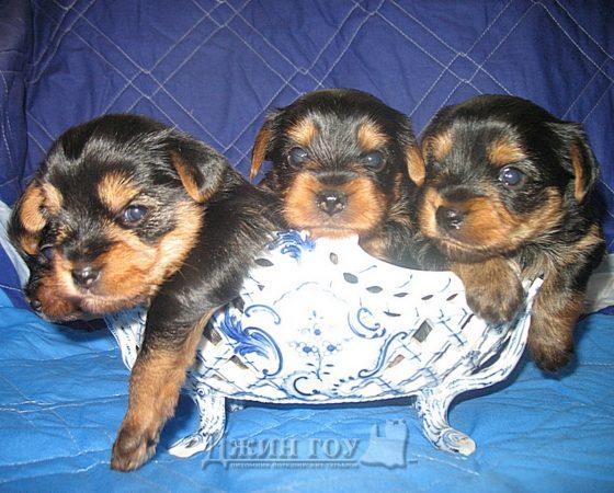 Ждем щенков от молодой пары